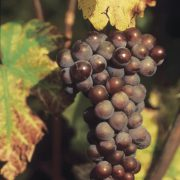 pinot-gris-grappe2