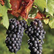 grappe Pinot Noir